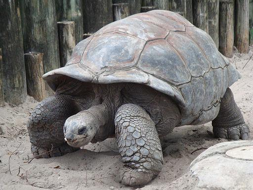 "(source: Wikipedia ""Giant Tortoise"")"